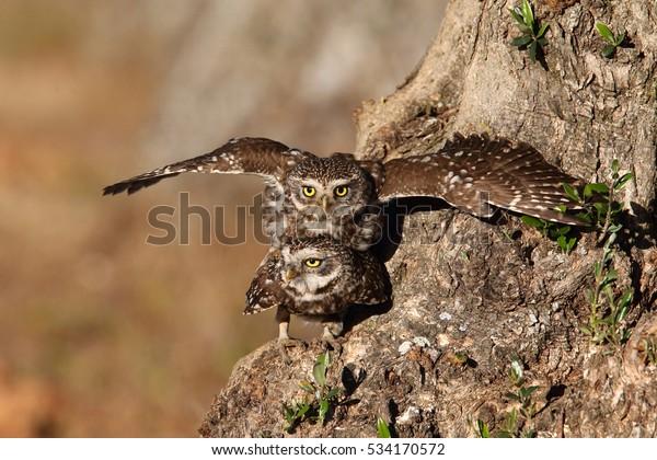 Little Owl Mating Season Stock Photo (Edit Now) 534170572