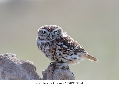 little owl or owl of Minerva (Athene noctua) Cordoba, Spain