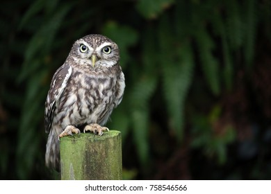 Little owl on fence pole