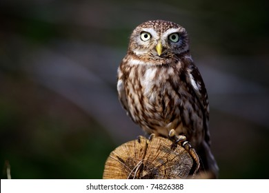 Little owl on a log