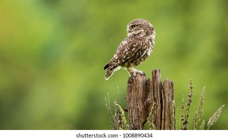 little owl on an old fence post