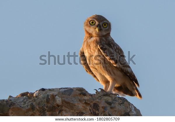 little-owl-on-rock-600w-1802805709.jpg