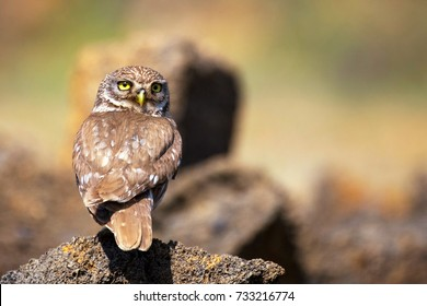 the little owl is on the stone with her head turned. Athene noctua