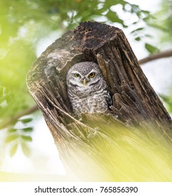 Little Owl peeping out of the hollow of an old tree. A spotted owlet in the tree nest hole.