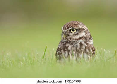 Little Owl sitting in green grass