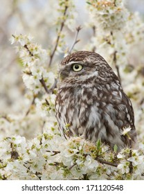 Little Owl sitting in a tree in the spring blossom