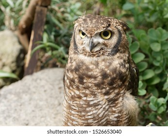 The Little Owl is a small owl with a flat-topped head, a plump, compact body and a short tail. The facial disc is flattened above the eyes giving the bird a frowning expression. The plumage is greyish