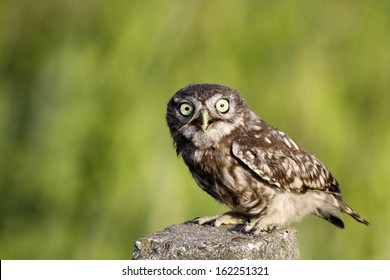 Little Owl standing on concrete pillar with green background
