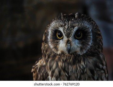 Little owl stares at the camera
