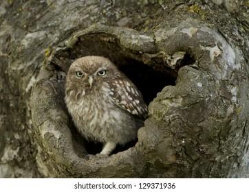 Little Owl In Tree