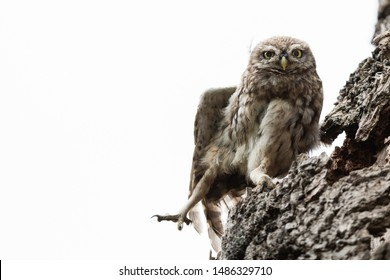 Little owl in the tree