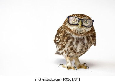 Little Owl wearing glasses, (Athene noctua) standing on a white background.