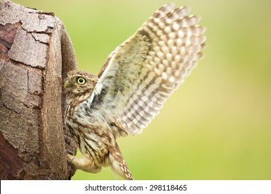 A little owl with its wings up