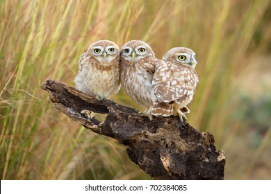 Little Owl's family portrait