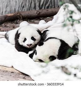 little panda babies
