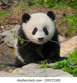 Little panda cub with branch in mouth