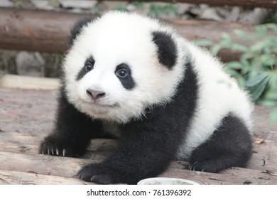 Little Panda Cub Crawling on the Playground, Chengdu Panda base
