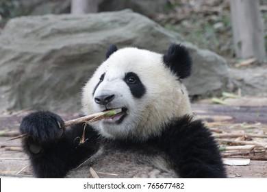 Little Panda Cub Is Eating Bamboo Shoot, China