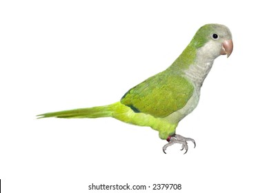 a little parrot isolated on a white background