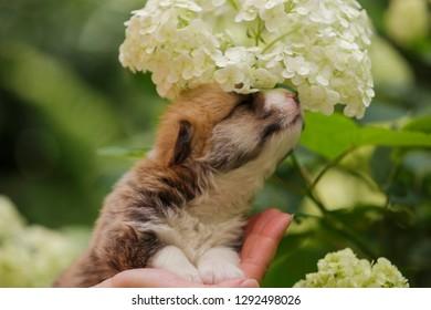 little pembroke whelsh corgi puppy outdoor