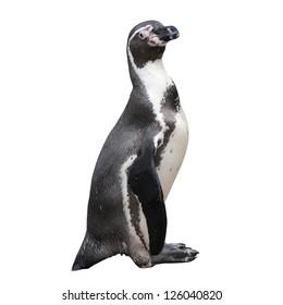 Little penguin isolated on white background