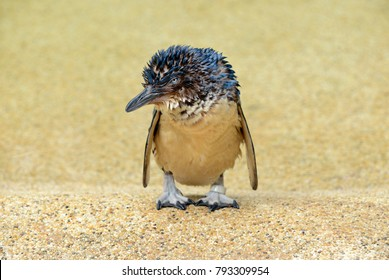 Little Penguin also known as Blue Penguin found in coastal areas in Australia near Sydney and Melbourne as well as New Zealand