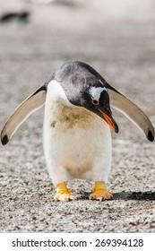 Little penguin on the sand