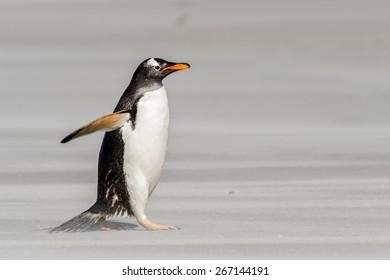 Little penguin walks on the sand