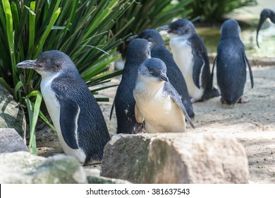 Little penguins, the small species of penguin with the height at 40-45cm