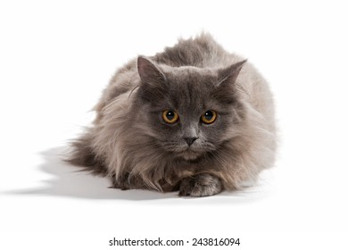 Little Persian kitten gray color, isolated on white background