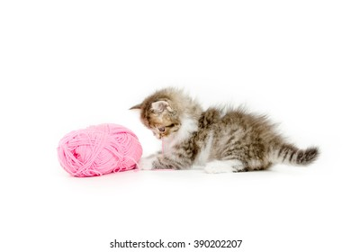 Little Persian tabby kitten playing a pink cotton wool on isolated background