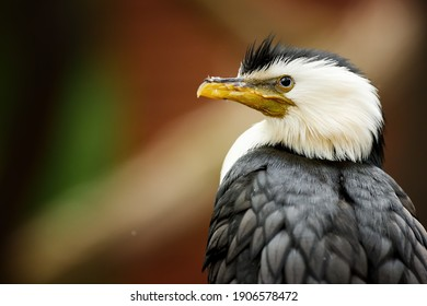 Little pied cormorant, Microcarbo melanoleucos, portrait of a black and white water bird, native to  Australia, New Guinea, New Zealand.