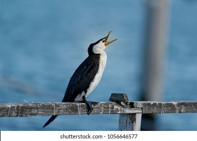 The little pied cormorant, little shag or kawaupaka (Microcarbo melanoleucos) is a common Australasian waterbird, found around the coasts, islands, estuaries, and inland waters of Australia, New Guine