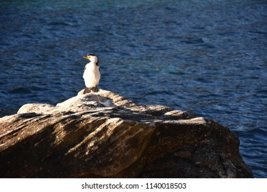 The Little Pied Cormorant. Little Shag or Kawaupaka (Microcarbo melanoleucos) is a common Australasian waterbird found around the coasts, islands, estuaries and inland waters of Australia.