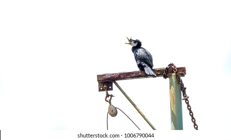 Little Pied Shag / Kawau Paka on top of a jetty pully
