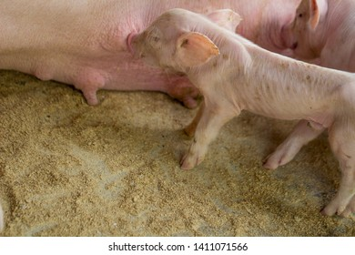 Little pig is sucking milk. The newborn pig is sucking milk from the mother