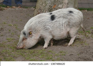 the little pig walks around the yard with a deadpan look