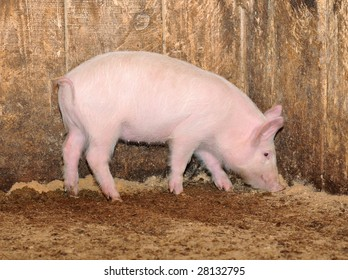 little pig who are in a shed