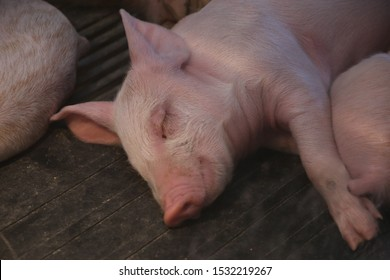 A little piglet sleeping by its Mom and siblings at the fair