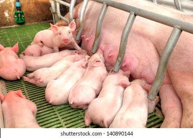 Little piglets suckling their mother at the pig factory