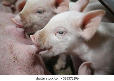 Little piglets suckling their mother