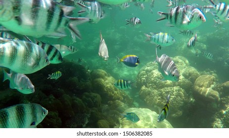 Little Pilot Fish (also called Sergeant Major) and a royal blue tang (also called Surgeon Fish) at the coral reef of Watamu Marine National Park in Kenya, Africa.