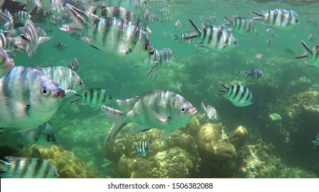 Little Pilot Fish (also called Sergeant Major) at the coral reef of Watamu Marine National Park in Kenya, Africa.