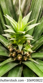 Little pinapple fruit unripe in palm tree at closeup