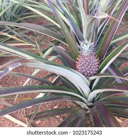 Little Pineapple tropical fruit