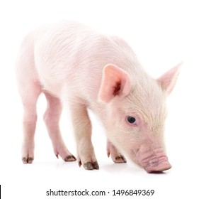 Little pink pig isolated on a white background.
