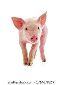 Little pink pig isolated on white background.