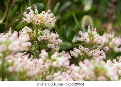 Royalty Free Little White Bell Shaped Flowers Images Stock Photos