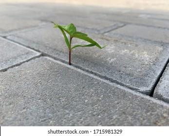 A little plant has found the right way in a hole between road tiles. Opportunity concept. Soft focus