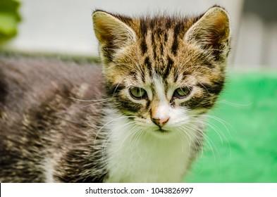 little playful gray kitten